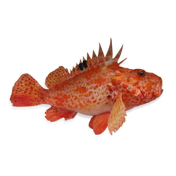 того рыбы адриатики фото знаменита узких